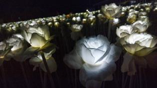 10'000-roses-03