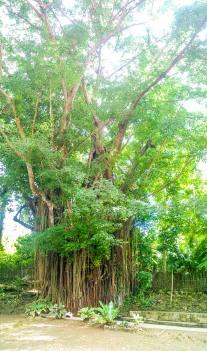 Siquijor-Century-Old-Balete-Tree-04