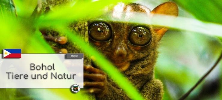 Ein Philippinen Koboldmaki, auch Tarsier genannt, sitzt zwischen den Blaettern auf einem Baum. Im Textfeld steht geschrieben: Bohol Tiere und Natur.